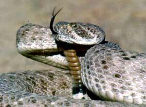 AP Photo/Arizona Game and Fish Department, George AndrejkoAWestern Diamondback rattlesnake is shown in Cave Creek, Ariz., in this May 1990 photo. Rattlesnakes are part of the Crotalidae family, the most common and widely distributed family of venomous snakes in North America.