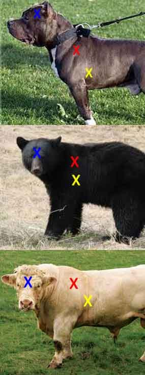 """Cattle, bear, pit bull: Yellow = heart/lung shot. Red = high shoulder shot. Blue = brain shot. Cattle is representative of most hoofed animals. When a bull makes direct eye contact — worse yet if he kicks dirt with a front hoof — prepare to repel boarders! Bear and big cats have their vital organs further forward in the body than hoofed game. A crouching cat is a difficult shot because their shoulders/collar bones """"float"""" allowing them to get very low before their attack."""