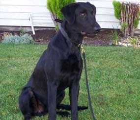 2-year-old black Lab Trax died Saturday of food poisoning.