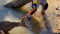 An unusual rescue: NC FFs save deer from log-jammed creek — twice