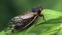 Ga. county officials ask residents to stop calling 911 about loud cicadas