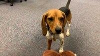 Homeless beagle gets permanent home — and a job — with local police