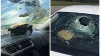 Turtle crashes through windshield on Fla. highway, hits woman in head