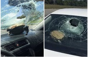 Florida Highway Patrol investigators say this turtle was kicked up in the air by a vehicle and crashed through the windshield of another vehicle, injuring a woman in the head.