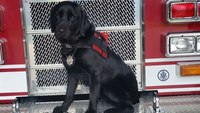 Dog that 'flunked out' of service school now sniffs out arson at Texas FD