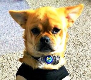 Mugshot is believed to be a possible Chihuahua, Pug, Corgi, Pomeranian mix.