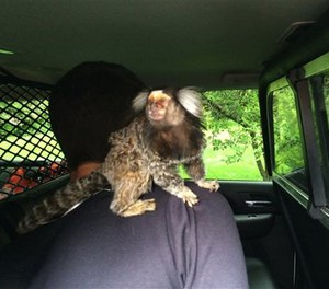In this photo provided by the Burien Police Department, police officers detain a man with his monkey after he crashed into someone's yard in Burien, Wash., Wednesday, May 4, 2016.