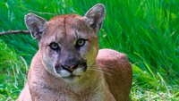 Calif. deputy kills mountain lion that stalked family