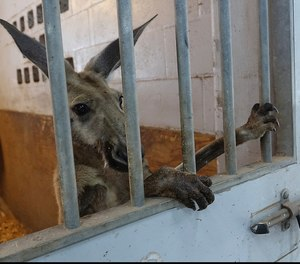 A kangaroo captured by Fort Lauderdale Police peers out from a stall at the Mounted Police headquarters in Fort Lauderdale, Fla. Thursday, July 16, 2020.