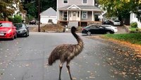 Cops help capture emu on the loose in Mass. town