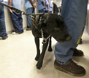 In this May 20, 2015 file photo, Bentley, a 3-year-old Labrador retriever, checks an inmate for traces of narcotics at California State Prison, Solano, in Vacaville, Calif.