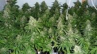 Firefighters experience near misses at marijuana grow facilities