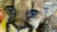 CAL FIRE FFs rescue mountain lion cub burned during wildfire