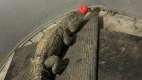 Va. FFs find 6-foot alligator in home during fire