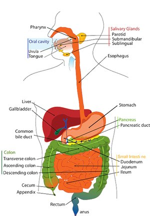Due to the large number of structures involved, numerous medical conditions can arise from the GI system.