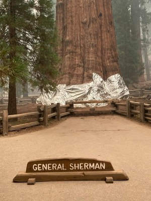 Fire officials sounded the alarm Thursday that the blaze — made up of the Paradise and Complex fires — could reach the grove that included the 275-foot GeneralSherman Tree.