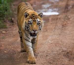 Tiger King, the Home Quarantine Game, is good for hours of fun and enjoyment. (Photo/Getty Images)