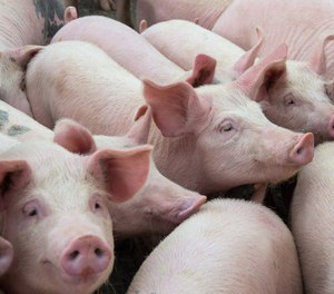 The Physician's Committee for Responsible Medicine said UW uses live pigs to teach paramedics about the surgical airway, which its members claim is unnecessary, KOMO News reported.