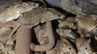 Plague of mice forces evacuation of Australian prison