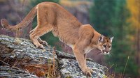 911 caller: My child attacked by mountain lion, prepare the ER