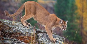 Mountain lion. (File photo courtesy of the USFS)
