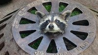 Mich. firefighters free baby raccoon that got its head stuck in sewer cover
