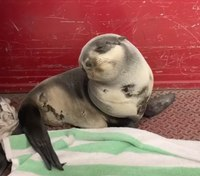 Video: Baby seal rescued by Calif. city firefighters