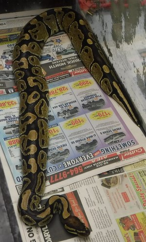 An American Medical Response crew in Hawaii captured this 4-foot-long ball python.