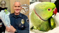 Police chief saves parrot that flew into office to escape hawk