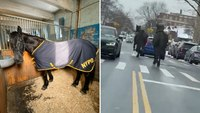 Video: NYPD horses break free from handlers, trot through Brooklyn