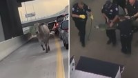Police help remove alligator, cow from Houston highways in same day