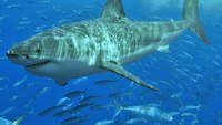 Responders prepare for booming great white shark population