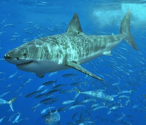 Massachusetts Marine Fisheries scientist Gregory Skomal and others began studying the regional population of white sharks in 2014, when they counted 68 great whites. (Photo/Wikimedia Commons)