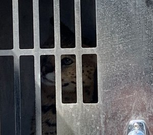 Fire officials say this large African serval cat bit a firefighter during a house fire on Sunday. The cat escaped the blaze unharmed and was corralled by animal control.