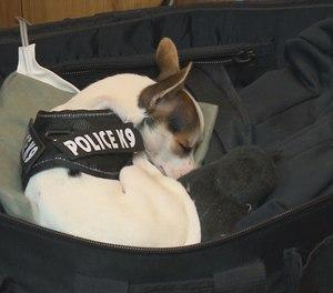 Zorro wears a tiny K-9 vest and rides along on patrols. (Photo/13 ABC)