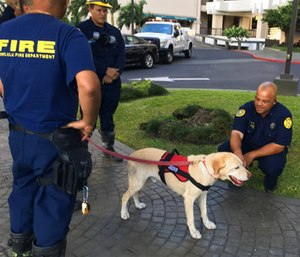 Kaimi, an arson dog trained to sniff out ignitable liquids, stands outside a Honolulu high-rise apartment building.