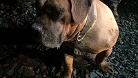 San Diego firefighters rescue 115-pound bullmastiff after fall