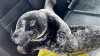 Canadian cops bust streetwise seal