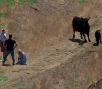 Video: Cow chase leads to helicopter rescue in California