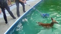 Video: Cops rescue fawns trapped in swimming pool