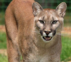 The mountain lion was killed, apparently on impact. (Photo/Pixabay)