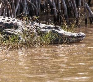 A Florida firefighter-paramedic survived an alligator attack last Thursday.