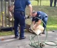 Video: Firefighters rescue deer stuck in metal fence