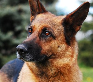 Help your K-9 partner enjoy a long, healthy career and retirement with regular veterinary care, a good diet and special protection against threats like narcotics. (image/Pixabay)