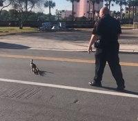 Video: Fla. cop escorts baby ducks across road, to lake