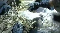 Video: Minn. deputies free entangled eagles