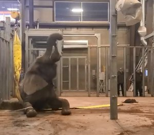 African elephant named Malaika was found lying on her side early Monday and unable to stand up. (Photo/Cheyenne Mountain Zoo)