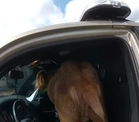 Video: Goat climbs into cop car, eats deputy's papers