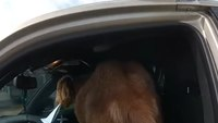Video: Goat climbs into cop car, eats deputy's papers