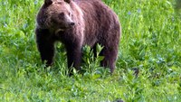 Man attacked by startled grizzly bear in Mont.